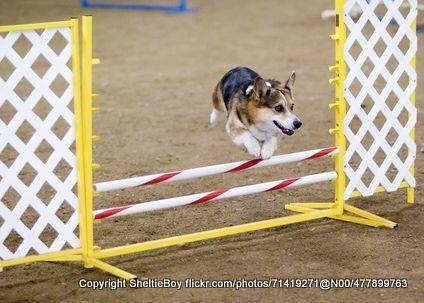 Corgi jumping metal jump